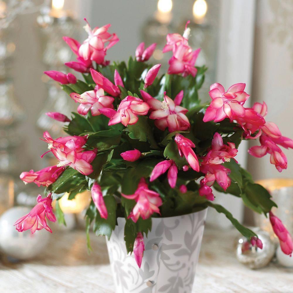 Красавец декабрист: правила ухода за цветком в домашних условиях