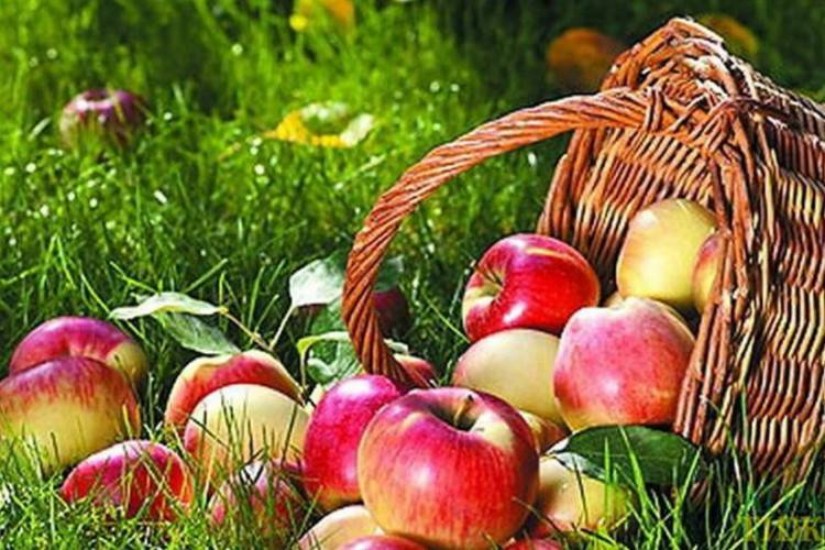 Яблоня белорусское сладкое: особенности сорта и ухода