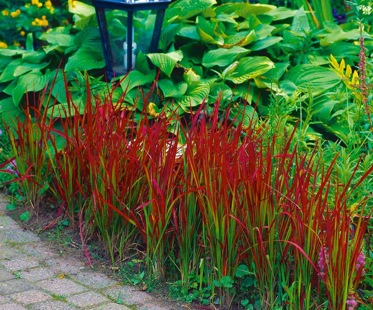 Топ-10 злаков с красными листьями для ландшафтного декорирования