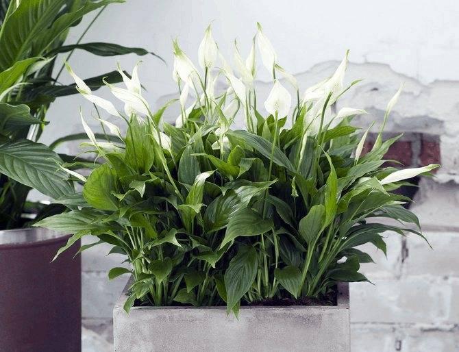 Гигантский спатифиллум сенсация: подробное описание, фото и правила выращивания