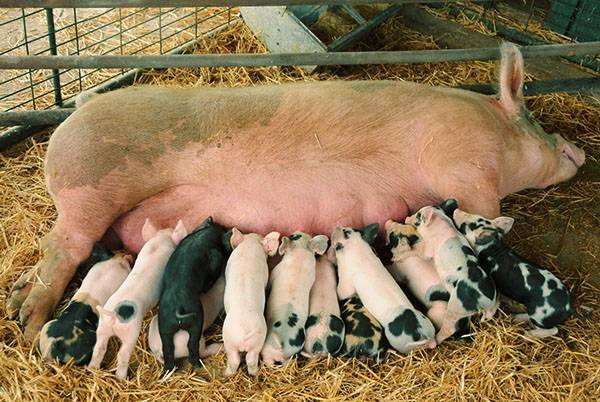 Свиноводство в домашних условиях для начинающих