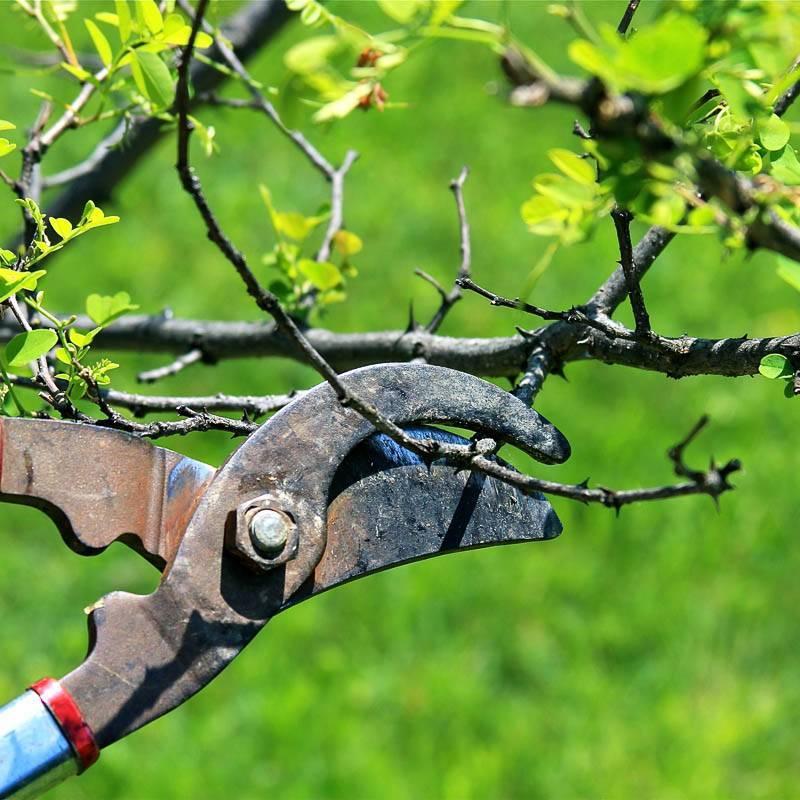 Когда ждать первого урожая с молодого дерева и кустарника?