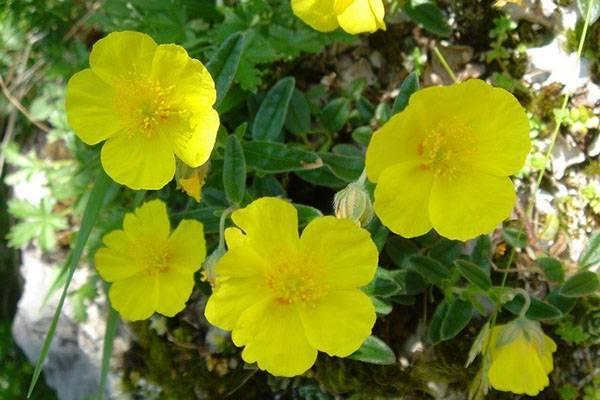 Украшение цветника — многолетник солнцецвет