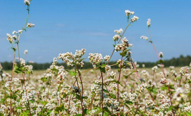 Какие сидераты сеять весной?
