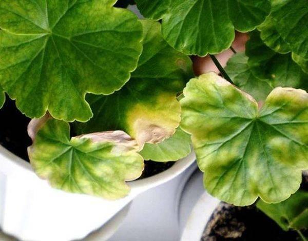 Причины, по которым у герани желтеют листья. что делать, чтобы спасти «зеленого друга»?