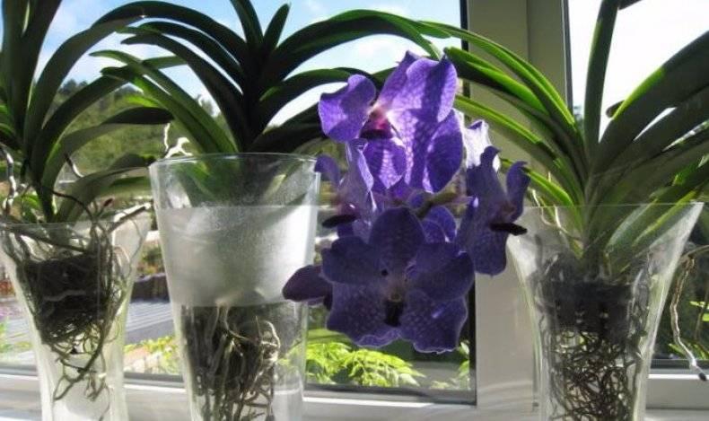 Желтеют листья фаленопсиса