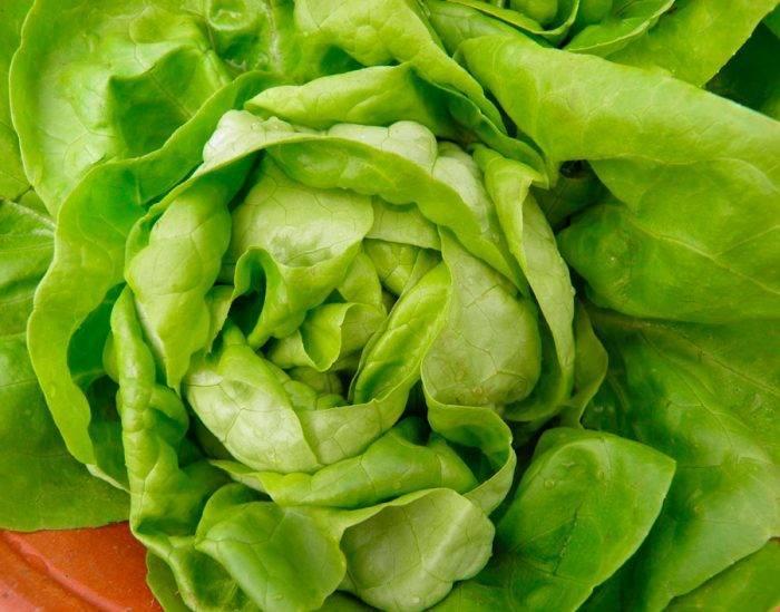 Кочанный салат айсберг: секреты крепкой рассады