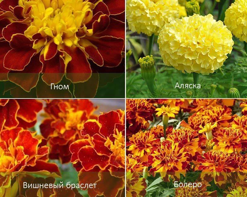 Как правильно посадить бархатцы на рассаду и в открытый грунт сорта с описаниями и фото