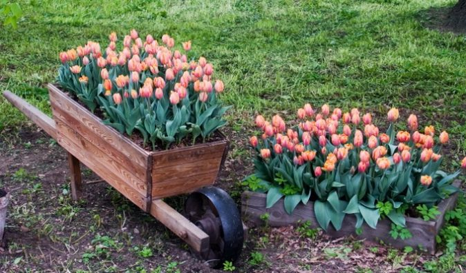 Когда сажать тюльпаны, как это сделать правильно