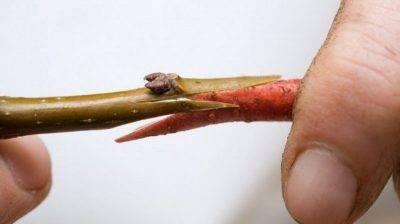 Когда прививать черешню: 5 способов, сроки и 4 правила ухода после процедуры