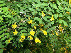 Желтая акация, карагана древовидная - посадка, выращивание, видео