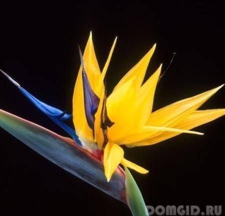 Цветок стрелиция: как вырастить и как ухаживать дома, разновидности