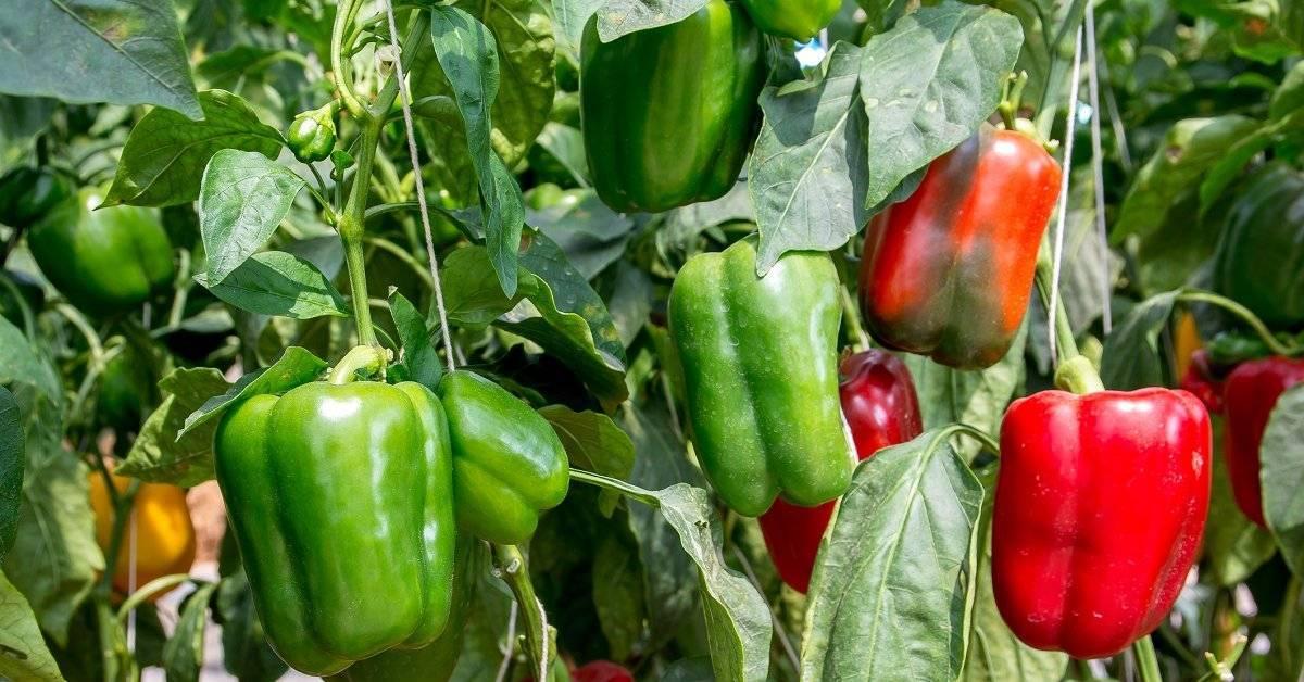 Горький перец: как правильно посадить и ухаживать в открытом грунте
