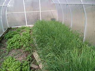 Посадка брокколи в 2020 году: сроки, выращивание и уход