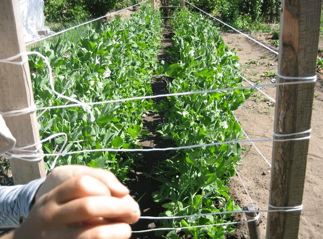 Горох - посадка и уход в открытом грунте, сроки посева и уборки урожая