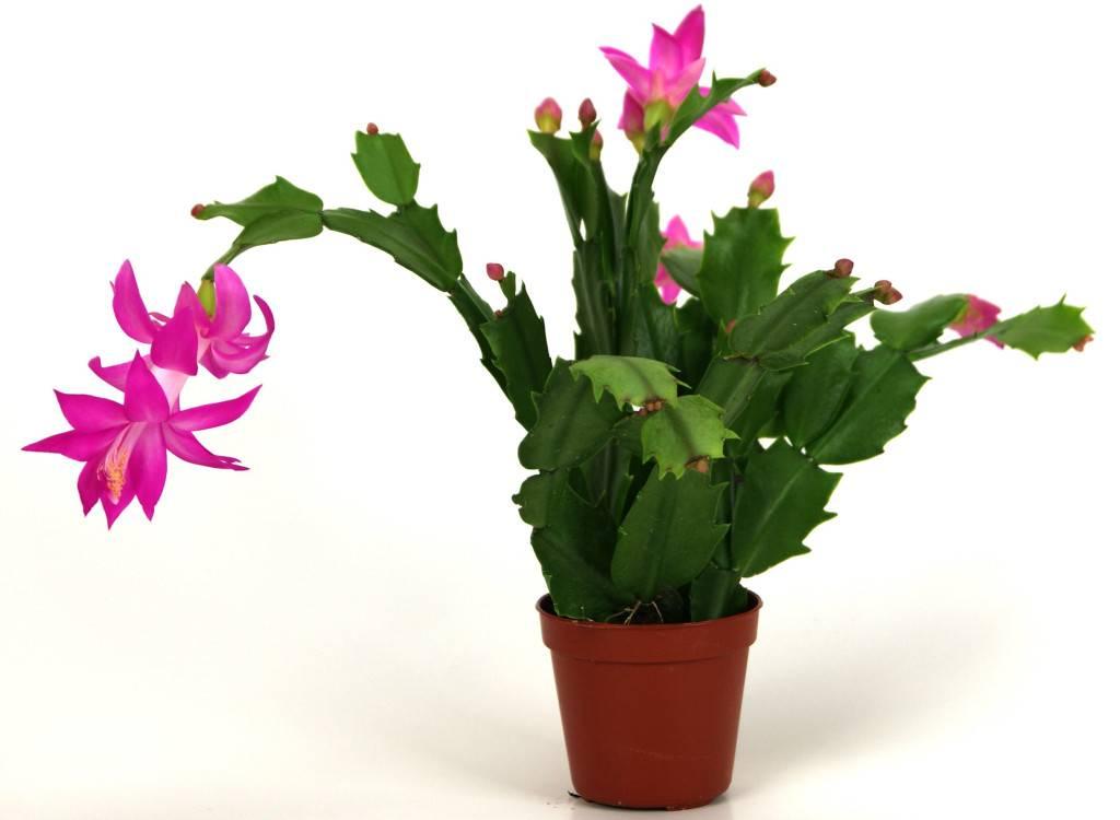 Цветок зигокактус (шлюмбергера или декабрист)