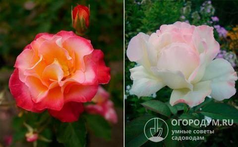 Роза дабл делайт – двухцветная и ароматная красавица в вашем саду