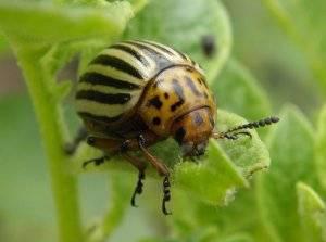 Боремся с колорадским жуком при помощи горчицы!