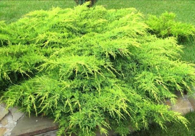 Можжевельник казацкий в саду — особенности выращивания и сорта