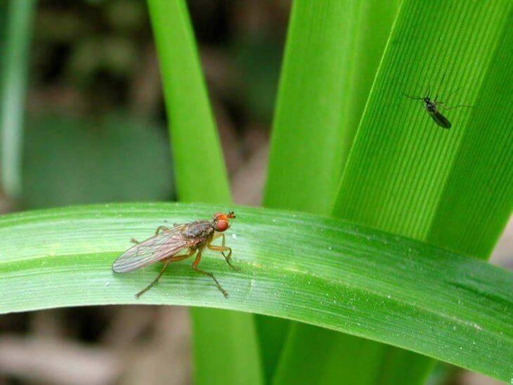 Как избавиться от мошек в рассаде, меры борьбы с вредителем