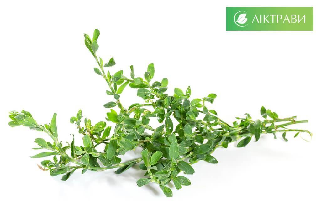 Трава спорыш — лечебные свойства, противопоказания и полезные советы по применению (115 фото)