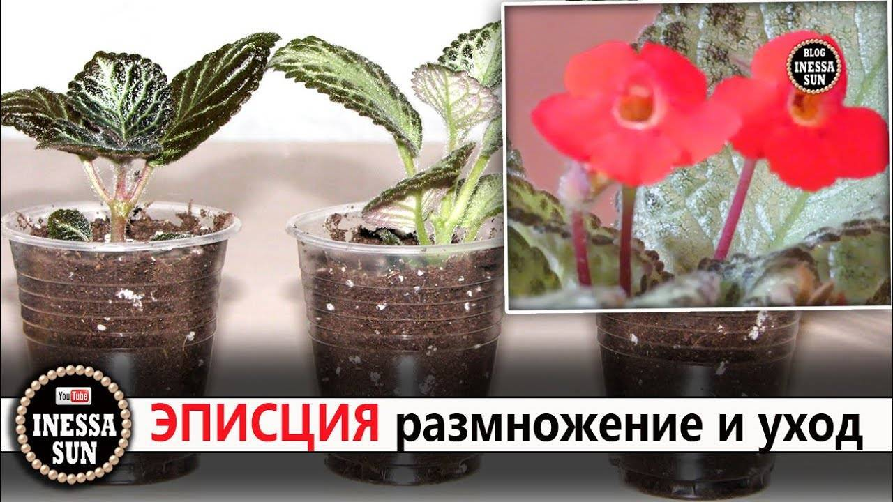 Цветок эписция: описание и уход в домашних условиях
