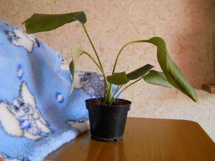 Можно ли омолодить антуриум, и как это сделать в домашних условиях?
