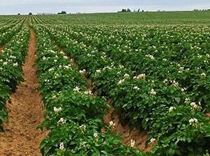 Правила полива картофеля: как и когда проводить орошение?