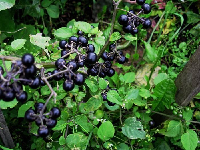 Ягода санберри: полезные свойства, приготовление и рецепты