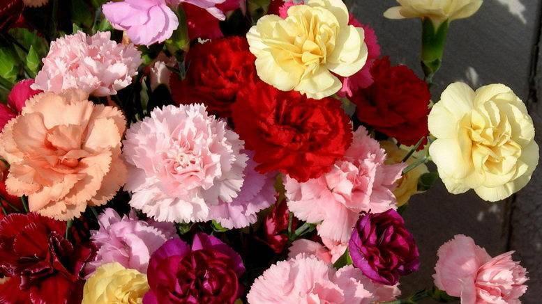 Гвоздика садовая многолетняя: посадка и уход, фото и описание видов