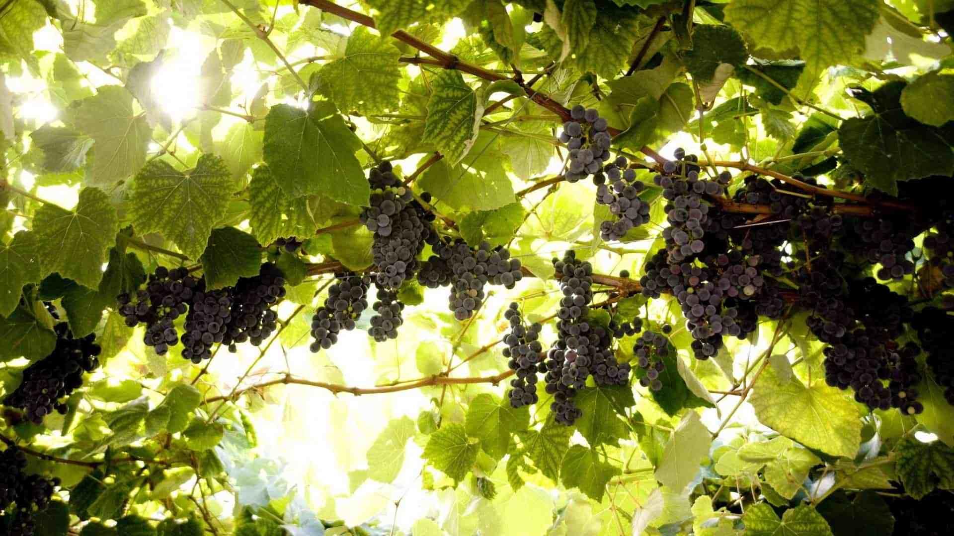 Для чего виноград весной обрабатывают железным или медным купоросом и как это сделать правильно?