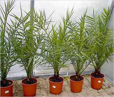 Финиковая пальма: выращиваем из косточки дома