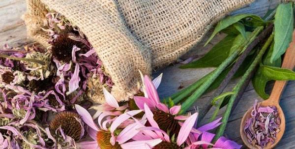 Эхинацея пурпурная: свойства, применение, польза для детей, женщин, мужчин