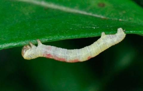 Как избавиться от тли и других вредителей калины