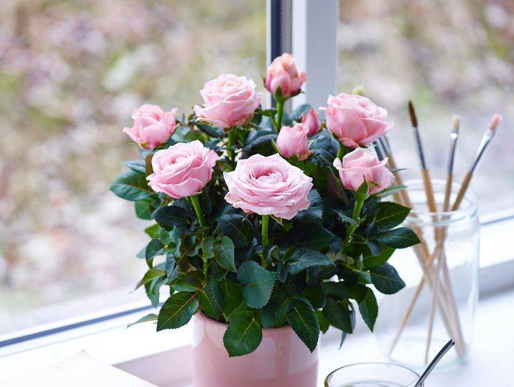 Чем и как нужно поливать розу в горшке? правила орошения комнатного растения