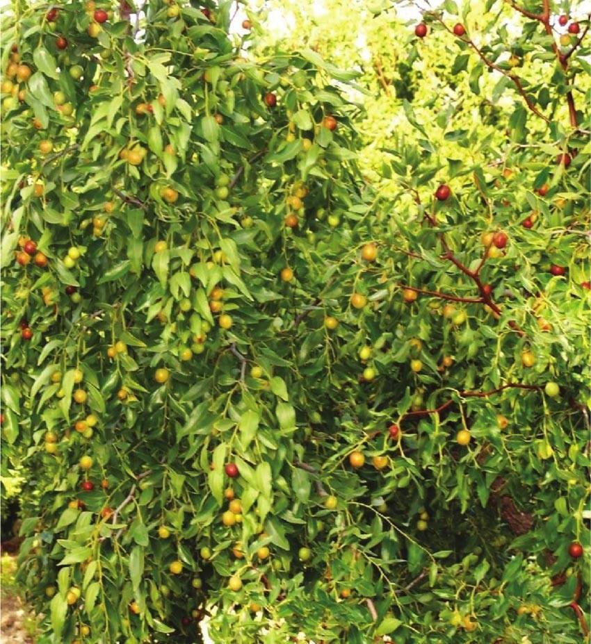 Выращивание зизифуса на участке и в горшке