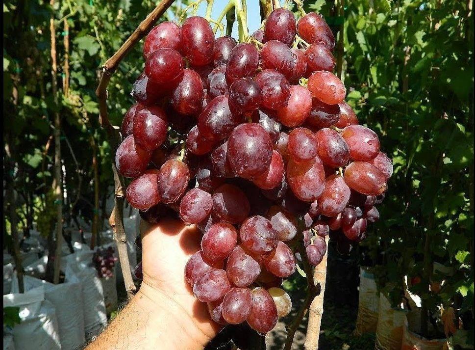Виноград ризамат: 10 особенностей посадки и ухода, описание основных отличий