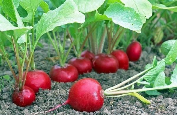Раскрываем секреты выращивания редиса на дачных грядках
