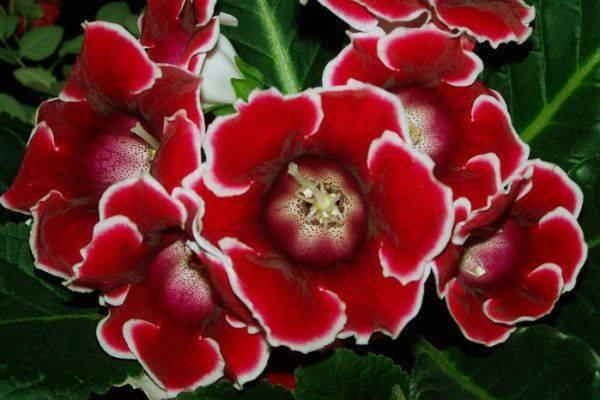 Выращивание глоксинии из семян в домашних условиях: пошаговая инструкция