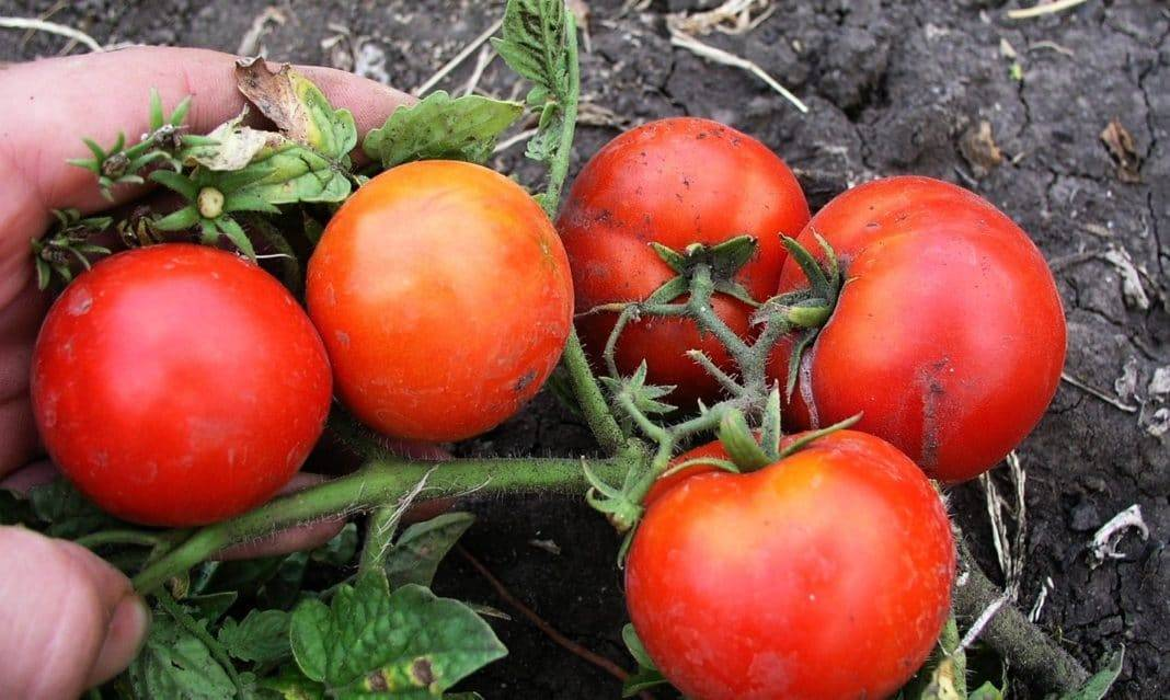 Перцевидные томаты: разнообразие сортов и особенности выращивания