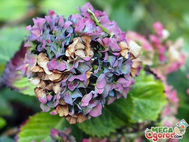 Чем подкормить гортензию летом для пышного цветения в саду