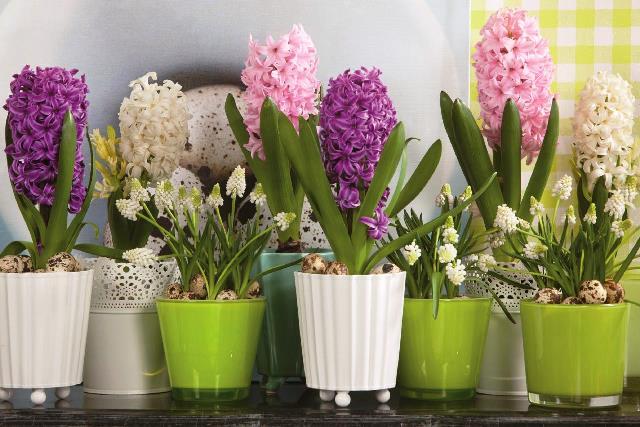 Выгонка цветов в домашних условиях: тюльпанов и гиацинтов к 8 марта, крокусов, нарциссов и лилий
