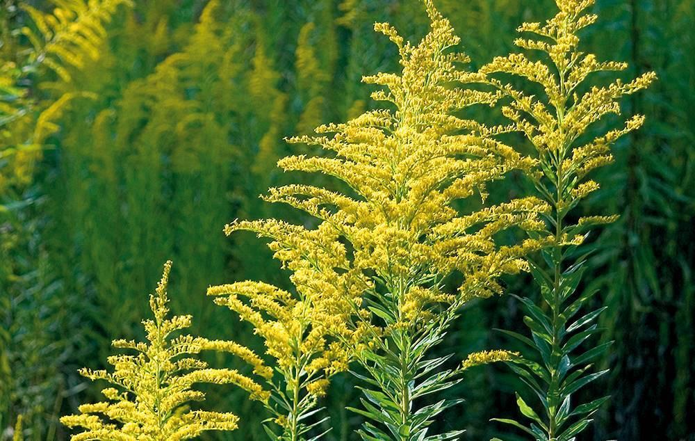 Когда цветет амброзия в различных регионах россии и календарь цветения для аллергиков