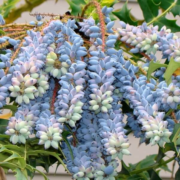Магония падуболистная: описание, фото, посадка, уход и выращивание