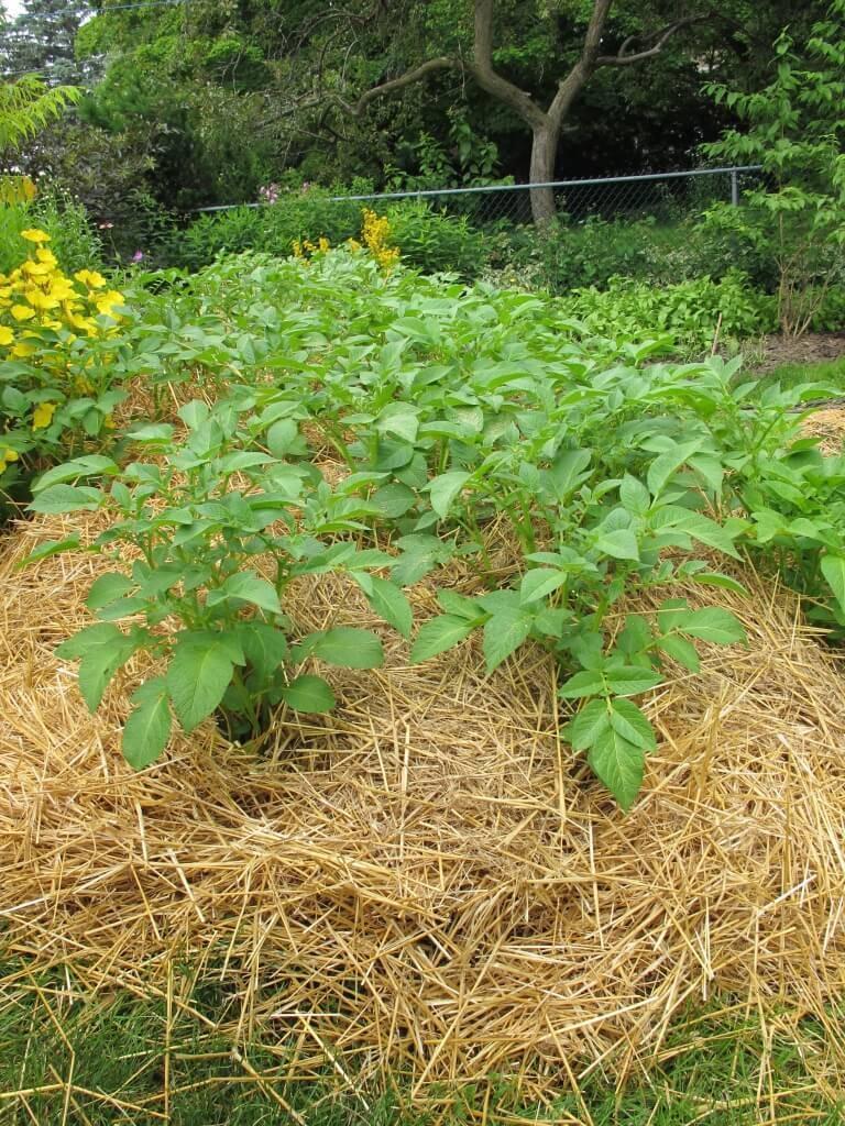 Посадка и выращивание картофеля по голландской технологии