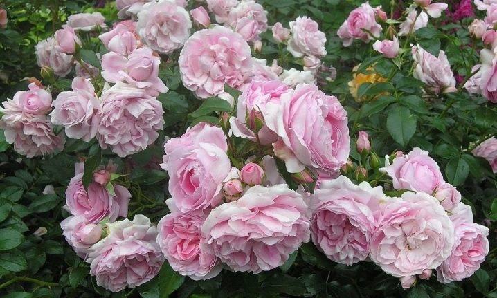 Раскрываем секреты выращивания розы дабл делайт