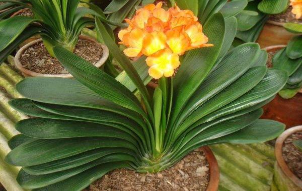 Кливия: описание видов и уход в домашних условиях