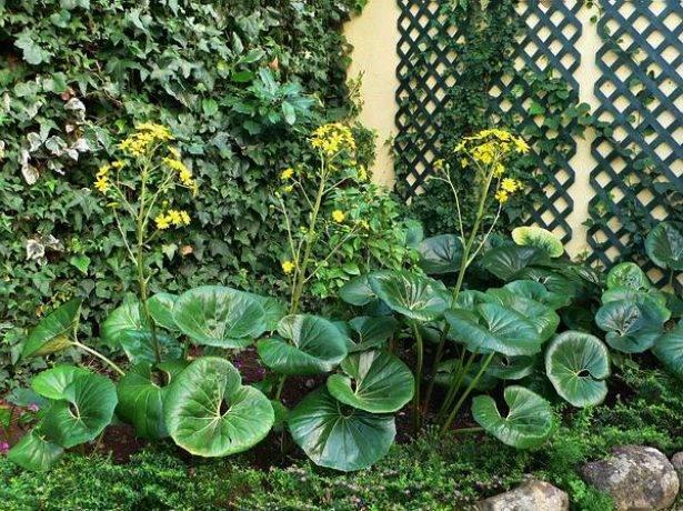 Бузульник: виды и сорта, советы по выращиванию