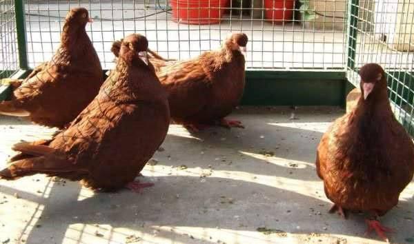 Советы по разведению мясных голубей