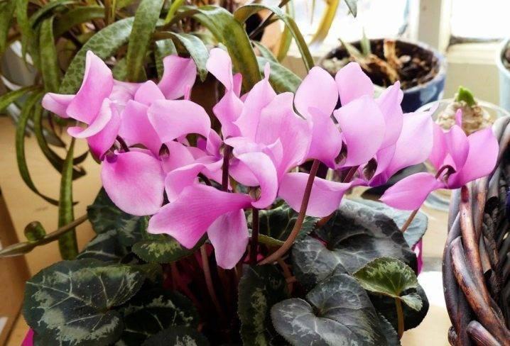 Нежная красота — цикламен персидский. уход в домашних условиях и выращивание